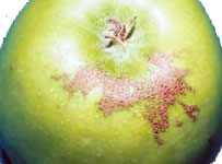 Apple Rust Mite