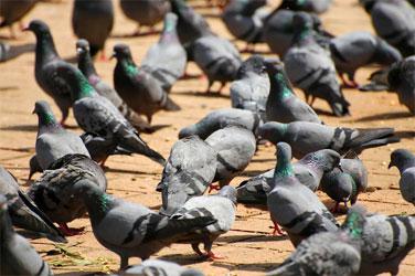 pigeon menace