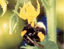 bumble bees for Pollination