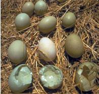 DDT Contaminated Egg