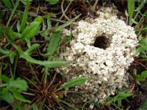 Digger Bees Hole