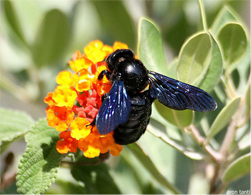 carpenter bees, carpenter bee control