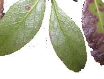Hawthorn Leaf Spots