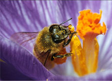 Honey Bees Pollination