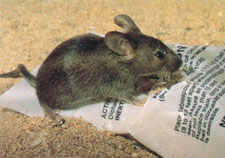 house-mouse-on-bag