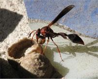 Mud dauber wasp