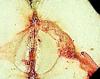 Oriental Fruit Moth Damage