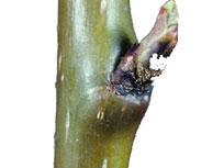 Pear Rust Mite Damage