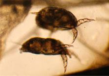 Rabbit mites
