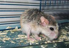 Mite infestation rodent