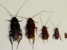 Smoky Brown Cockroach Nymphs
