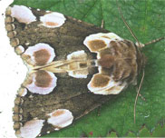 Tufted Thyatirid Moth
