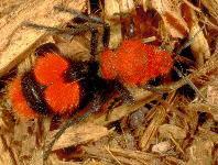 Velvet Ants damage